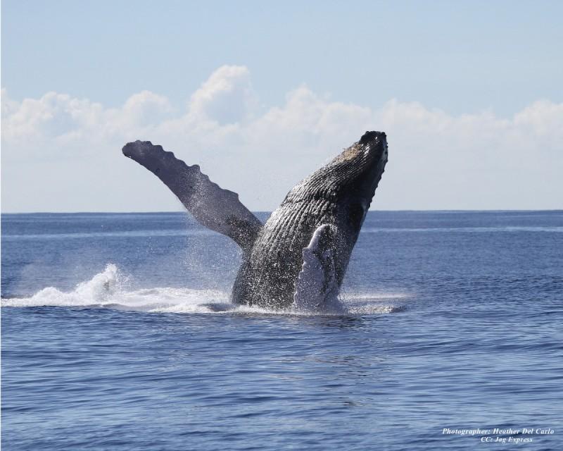 ザトウクジラの画像 p1_25