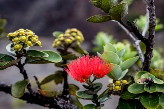 【ハワイ渡航前にチェック!】固有種のオヒアレフアを守ろう