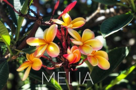 メレの中のハワイ百景〜プルメリア