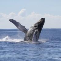 ザトウクジラとの遭遇率は平均95% アトランティスのホエールウオッチング・クルーズ