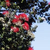ハワイ島の花・オヒアレフアの伝説